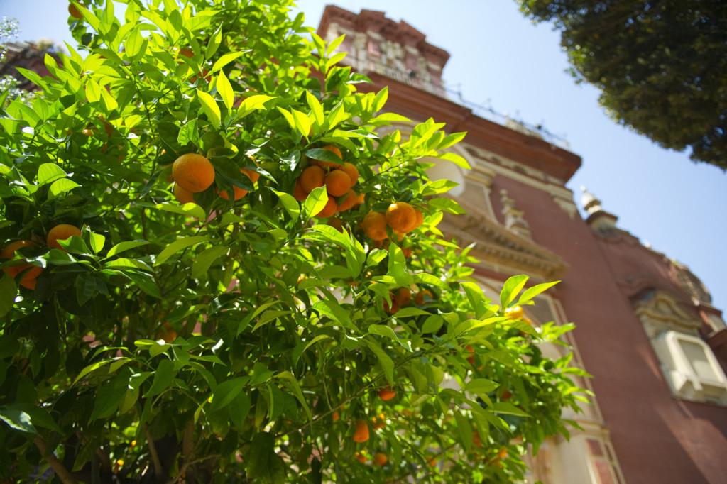 Orange tree in Seville